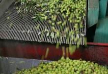 Olio Agape: Le olive
