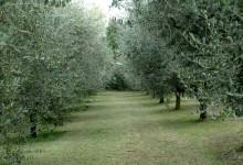 Olio Agape: Uliveti